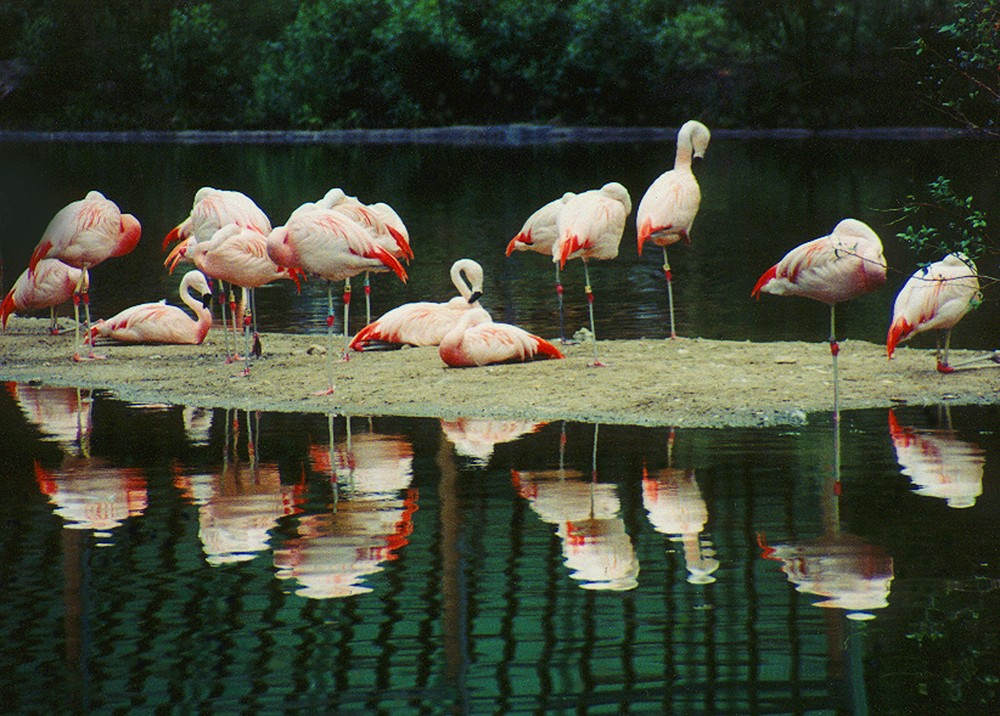 Resting Flamingos at the Bronx Zoo in New York.